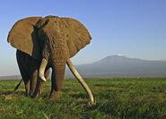 African elephant 112368