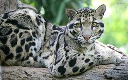 Clouded-Leopard.jpg