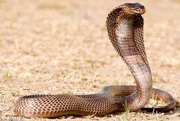 Egyptian-cobra.jpg
