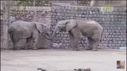 UTAUC African Elephants