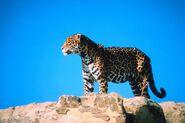 Sonoran Desert Jaguar