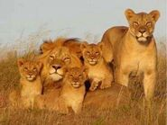 Lion-family