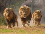 Lions-running-320x240