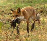 Red fox with nutria
