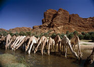 Dromedary-camels-drinking-doug-allan