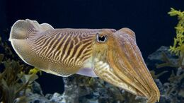 1920x1080 cuttlefish-HD-Wallpaper.jpg