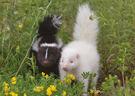 Albino-striped-skunks-notecard-72