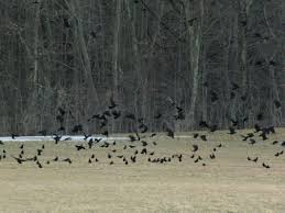 Crows at my Windows