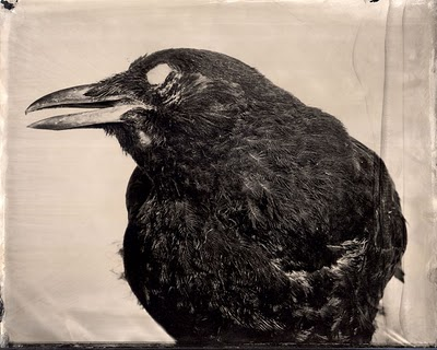 The Crow Caws at Midnight
