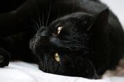 In-poland-a-black-cat-god-named-ovinnik-was-worthy-of-worship-photo-u1.jpg