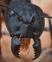 Close up Ants.jpg