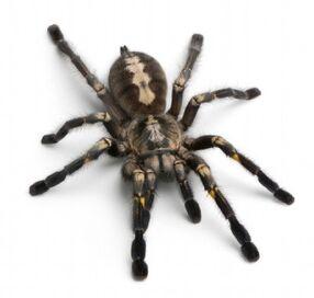 TarantulaSpider.jpg