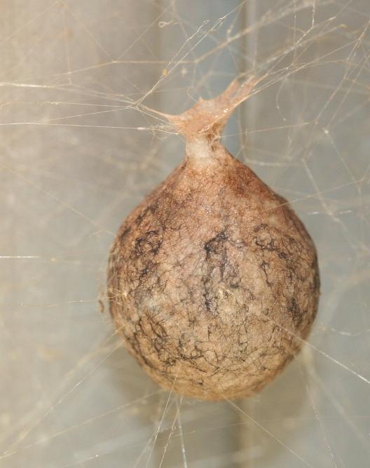 Egg Sac