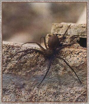 Violin spider.jpg