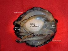 Abalone organs.jpg