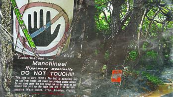 Manchineel.png