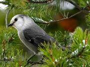 The White Nightingale.jpg