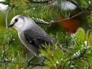 The White Nightingale