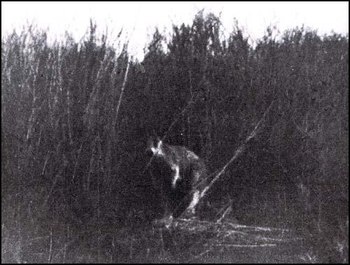 Il Canguro Fantasma