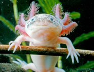 Screenshot 2020-11-26 axolotl salamander - Google Search