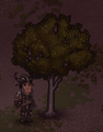 (Should be deleted.) Rubber Tree.png