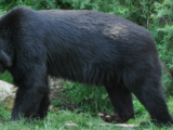 South American short-faced bear