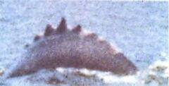 Sawtooth dolphin 1.jpg