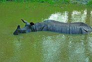 Indian rhinoceros in water