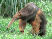 Giant anteater alt