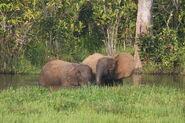 Forest elephants in water