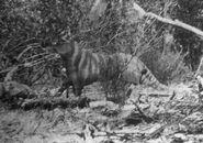 Ozenkadnook tiger