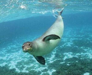 Hawaiian monk seal.jpg