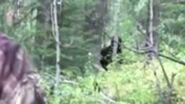 Idaho Bigfoot Sighting zoomed stabilized and slowed 155761