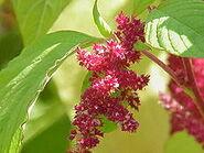 220px-Amaranthus tricolor0