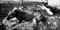Thylacine at Mawbanna photo in 1952-1953