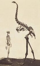 Megalapteryx didinus skeleton 1897