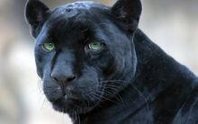 Black panther spain.jpg