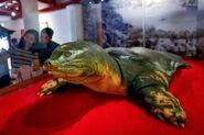 Hoan Kiem Turtle Embalmed