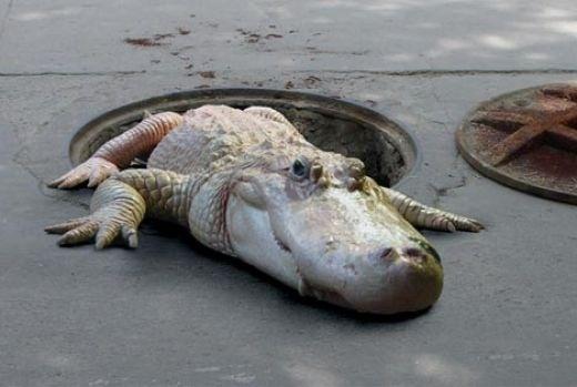Sewer Alligator