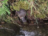 Platypus in its habitat