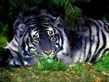 Blue tiger-0.jpg