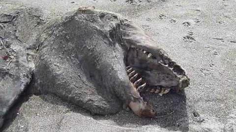 Strange Pukehina sea creature