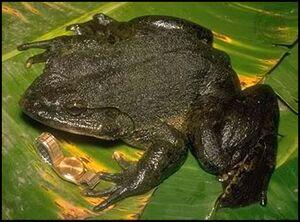 Goliath Frog - Conraua goliath.jpg