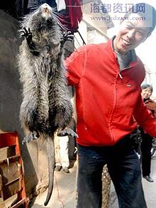 Giant Chinese Bamboo Rat