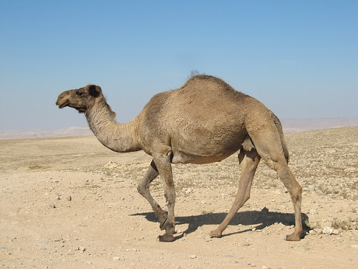 Ghost Camel