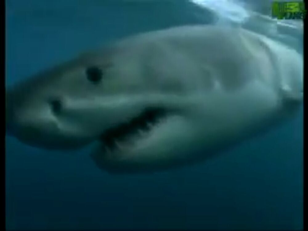 Canadian and Cuban Albino Shark