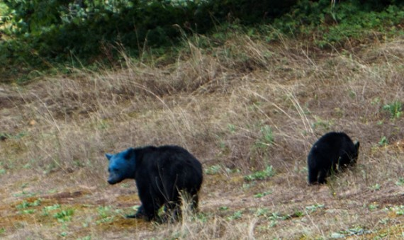 Blue Headed Black Bear