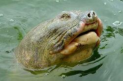 2-Hoan-Kiem-Turtle.jpg