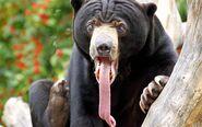 Bear-tongue-color