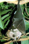 Hammer-headed-bat